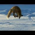Clip chú cáo đơn độc bắt chuột trên núi tuyết