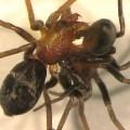 """""""Tính cách"""" quyết định việc nhện cái có chọn ăn thịt bạn tình tiềm năng trước khi giao phối hay không"""
