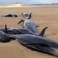 Các chú cá voi bị mắc kẹt trên bờ.