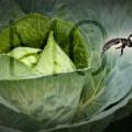 Bắp cải bọ cạp