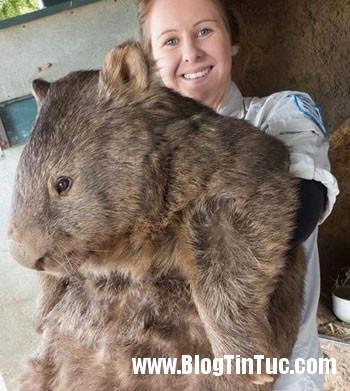 gau tui1 Gấu túi lớn tuổi nhất thế giới