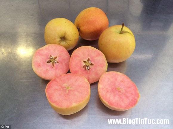 surprise apple1 Lai tạo thành công giống táo vỏ mới vàng ruột hồng đầu tiên trên thế giới
