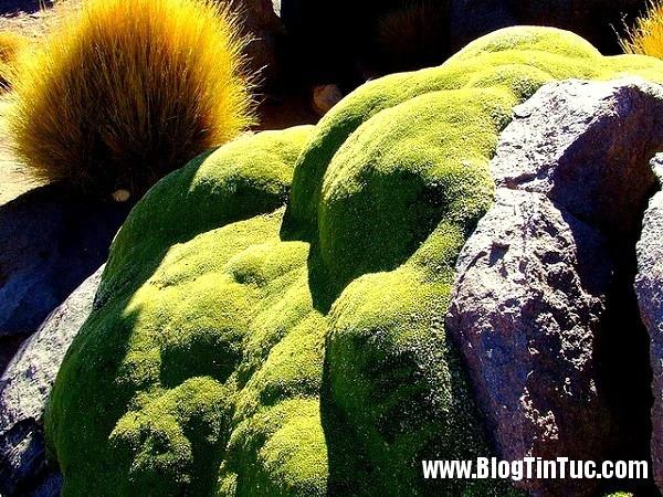 8 8da88 Ngắm nghía loài cây bất tử xanh lè hàng nghìn tuổi