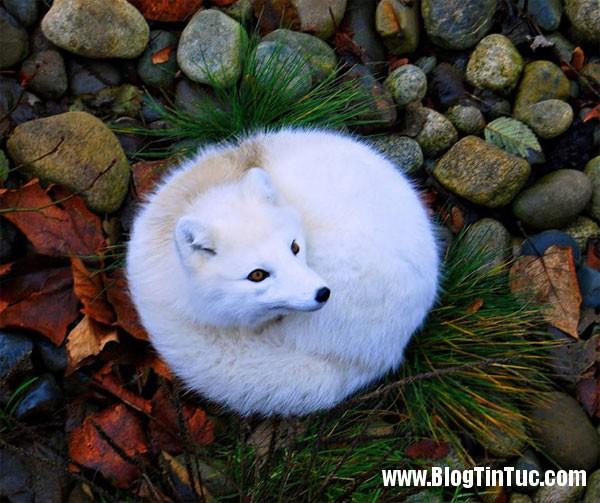 cao bac cuc 1 7 loài cáo cute nhất thế giới
