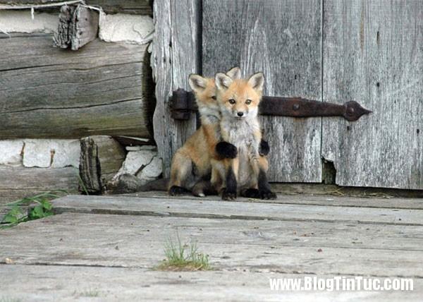 cao do 2 7 loài cáo cute nhất thế giới