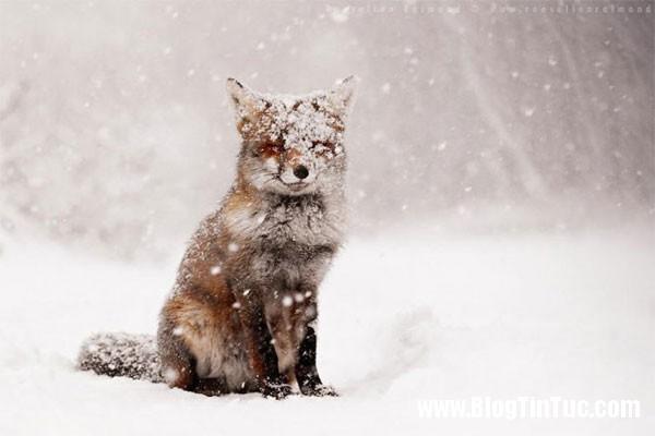 cao do 7 loài cáo cute nhất thế giới