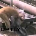 Video: Khỉ liều mạng cứu bạn thoát chết trên đường ray