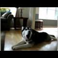 Chó buồn tình ngồi hát !!!