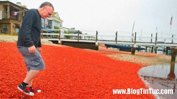 cua do Hiện tượng cua mắc cạn nhuộm đỏ bờ biển California